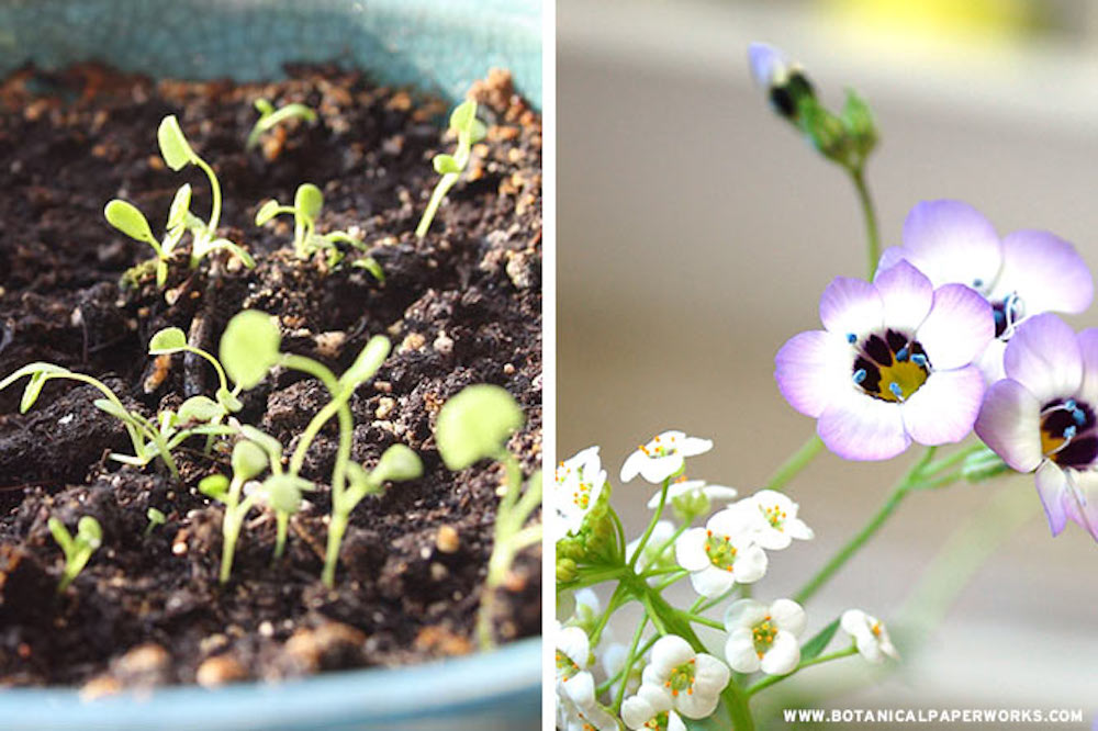 Sprouts and birds eye wildflowers growing from seed paper