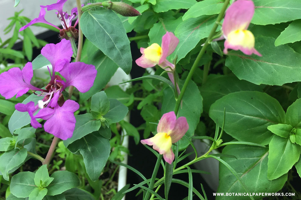 clarkia and snapdragon wildflowers growing from seed paper