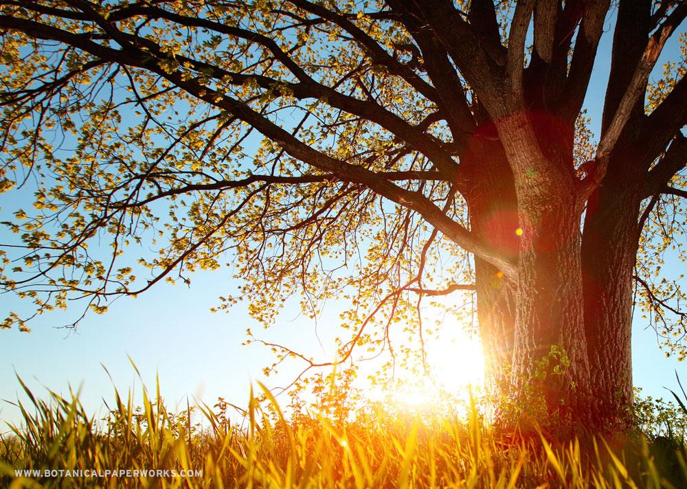 A large tree at sunrise