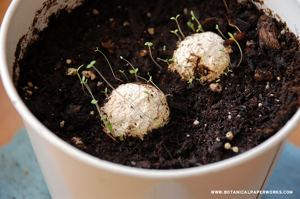 planted seed bombs growing in soil