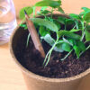 Watch this short video to learn how to plant and grow fresh basil from this eco-friendly plantable SproutTM pencil!