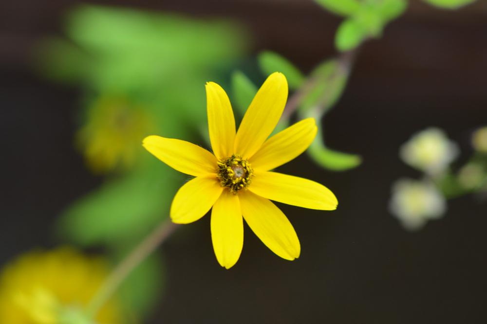 Black-eyed susan wildflower growing out of Botanical PaperWorks plantable seed paper