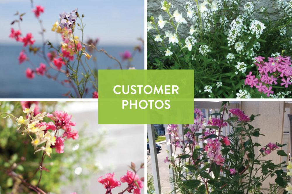 seed paper growing into wildflowers: sweet alyssum, clarkia, snapdragon, bird's eye, and catchfly