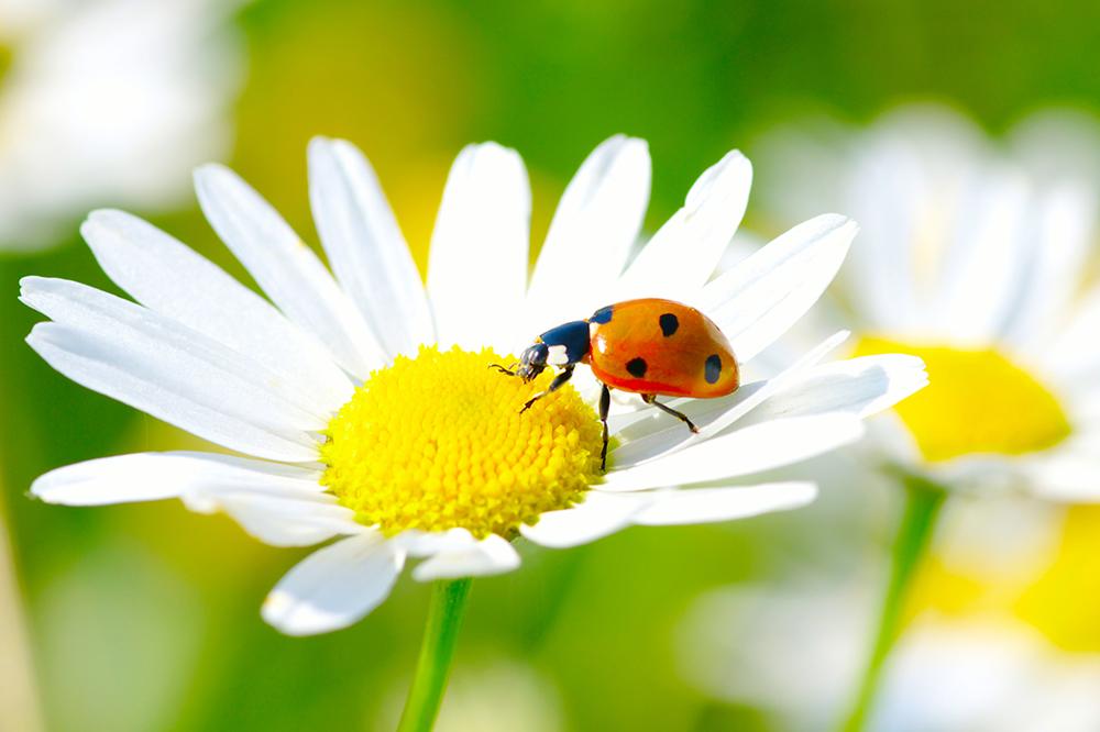 a lady bug crawling on a daisy flower