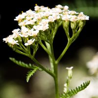 White-Yarrow