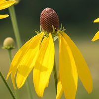 yellow-coneflower