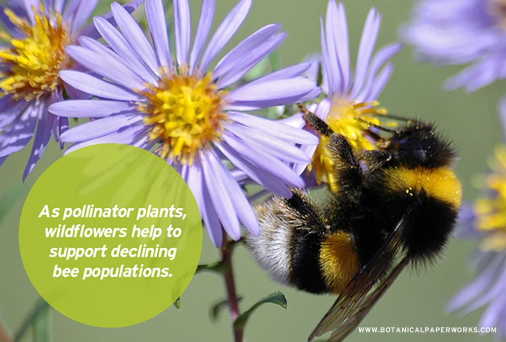 As pollinator plants, wildlfowers help support declining honeybee pollulations.