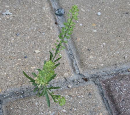 seed paper growing in sidewalk