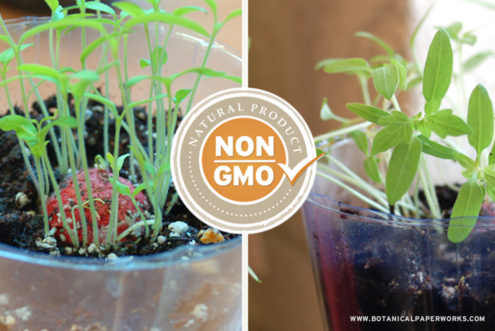 Look how amazing these NON GMO tomato seeds grow with some soil and sun!