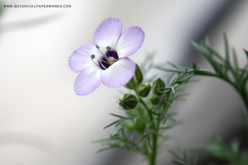 Wildflower seeds types in Botanical PaperWorks seed paper: Bird's Eye