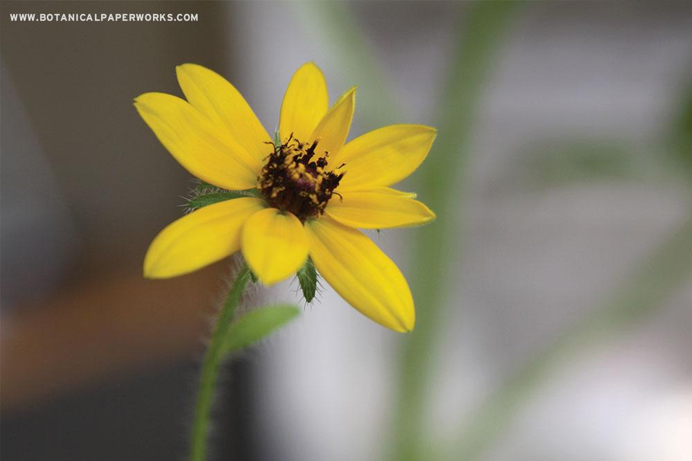 Wildflower seeds types in Botanical PaperWorks seed paper: Black-Eyed Susan