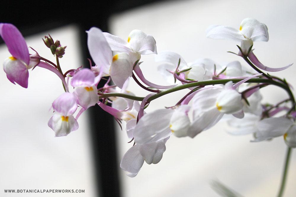 Wildflower seeds types in Botanical PaperWorks seed paper: Snapdragon