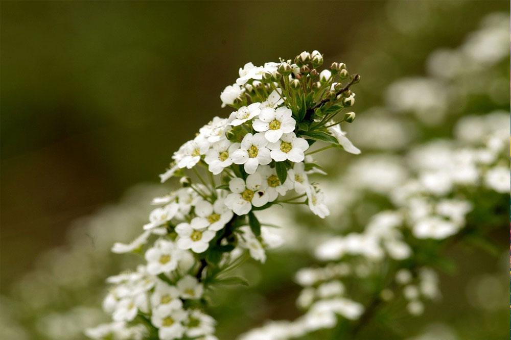Wildflower seeds types in Botanical PaperWorks seed paper: Sweet Alyssum