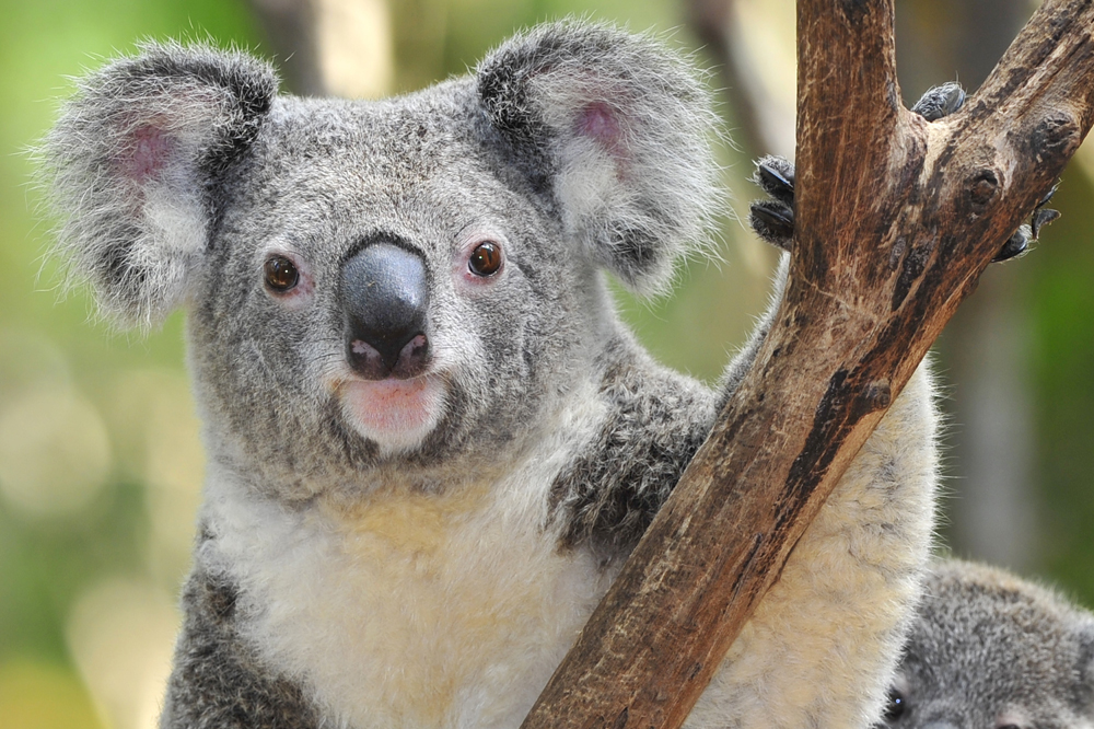 a koala on a branch