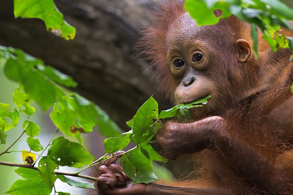 an orangutan eating leaves